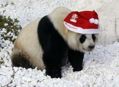 A giant panda takes a dump while wearing a Santa hat at a zoo in Xiamen, China on Christmas day.  It is believed that the bears protest Christmas because people get all kinds of cool stuff and pandas just get cinnamon and sugar sprinkled on their meals, which causes indigestion in adult bears.  (REUTERS)