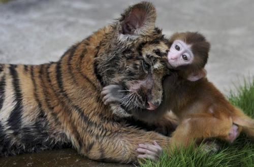A baby rhesus macaque (Macaca mulatta) plays with a tiger cub at a zoo in Hefei, Anhui province. Moments later, zoo patrons watched in horror as the tiger cub tore the monkey to shreds and ate it. 'They were so cute together for a minute or so, and then this,' one distraught onloooker said. The zoo is reportedly under investigation for mismatching animals in captivity, which is a crime in China. (REUTERS)